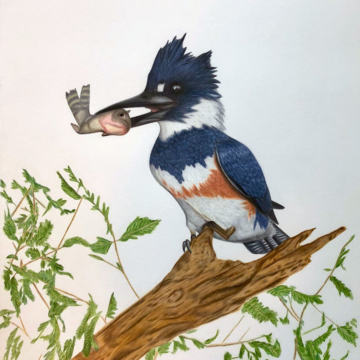 color pencil drawing of a Belted Kingfisher with a fish in its beak.