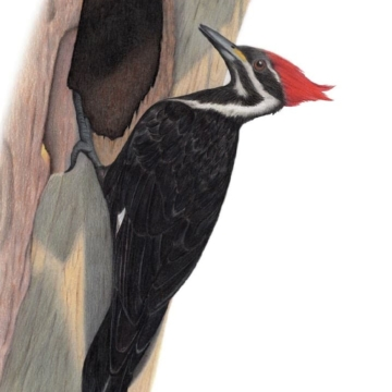 Pileated Woodpecker drawing.