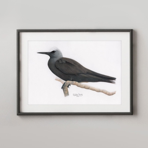 Black Noddy.