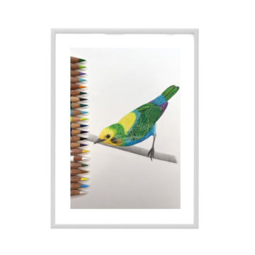 Multivolored tanager 1
